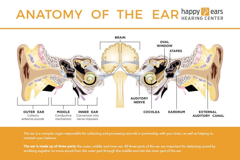 How The Ear Works Audiologist Happy Ears Hearing Center